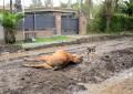 El dolor y la bronca de los vecinos por la muerte de un caballo en la vía pública