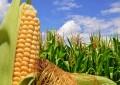 Más maíz, menos soja