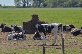 p16-f1-vacas-holando