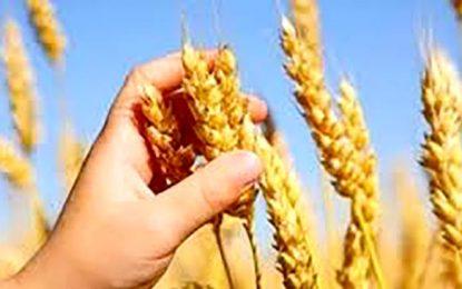 Incentivan a producir trigo de calidad