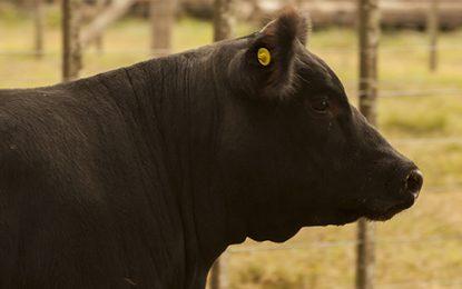 Simplifican sistema de caravanas para ganado