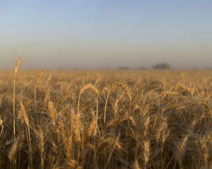 El trigo va en suba