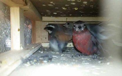 Rescataron 130 pájaros de la bodega de un colectivo de larga distancia