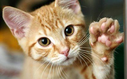 Los gatos sí entienden, pero prefieren no hacer caso