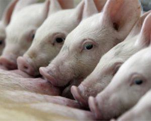 En Córdoba se produce carne de cerdo para cubrir el consumo de 10 millones de argentinos